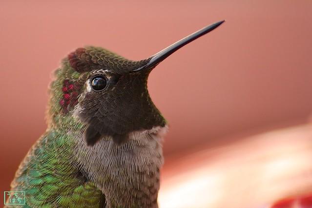 Anna's Hummingbird 112310-6