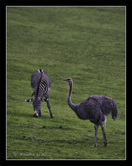 two together (JKmedia) Tags: wild two green nature field animals african stripes wildlife ostrich together zebra plains grazing marwellzoo canoneos40d jkmedia pregamewinner
