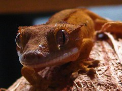 Crested gecko (bhinz57) Tags: orange pets macro nature animals eyelashes geckos herp reptiles inkspot babygecko crestedgecko eyelashgecko petgeckos
