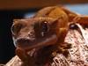 Crested gecko (bhinz57) Tags: orange pets macro nature animals eyelashes geckos herp reptiles inkspot babygecko crestedgecko eyelashgecko petgeckos