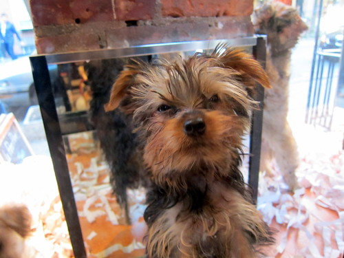 Puppy #2 of Greenwich Village