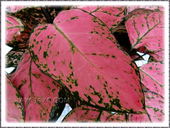Aglaonema 'Valentine', a Thai hybrid with pink+green leaf variegation - Nov 27 2010