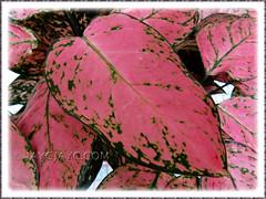 Aglaonema 'Valentine', a Thai hybrid with pink+green leaf variegation - Nov 27 2010