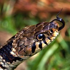 [フリー画像] 動物, 爬虫類, 蛇・ヘビ, 201104151100