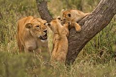 Lions of Maasai Kopjes 421 (Grete Howard) Tags: bestsafarioperator bestsafaricompany africa africansafari africanbush africananimals whichsafaricompany whichsafarioperator tanzania serengeti animals animalsofafrica animalphotos lions lioncubs maasaikopjes kopjes kopje