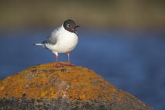 Pigeon-toed Bonaparte's Gull (Jeff Dyck) Tags: bonapartes gull bonapartesgull chroicocephalusphiladelphia orange lichen churchill manitoba birds jeffdyck