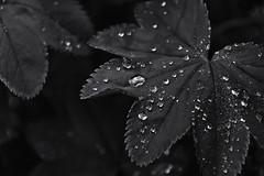 University of Alberta Botanic Gardens, June 2017 (Julian Rossi) Tags: universityofalbertabotanicgardens ladysmantle