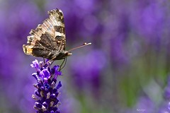 Vanessa odora la lavanda (kiareimages1) Tags: butterfly lavander colors summer imagery macro macroflowers mauve parme violet purple