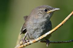 House Wren (ctberney) Tags: housewren troglodytesaedon bird elusive thisisprobablyayoungone nature