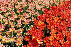 Make some Bloom for the Netherlands - vol.6 (Eye of Brice Retailleau) Tags: colourful colours composition earth nature outdoor paysage perspective scenery scenic travel view vista extérieur flora landscape park europe netherlands keukenhof flowers tulip tulips red rouge