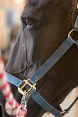 Shalamar (Montgomery Area Nontraditional Equestrians (MANE)) Tags: al mane pikeroad