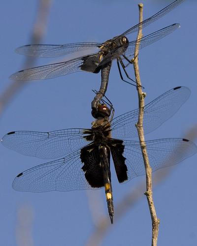 SaddlebagsDragonfliesMatingEmiquonClarkRd07252010JGWard_MG_6666