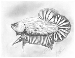plakat (scratanut) Tags: moon fish art pencil aquarium sketch fighter dragon drawing tail half flare betta plakat fins hmpk