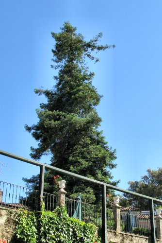 20100603-rq-1a-sequoia_sempervirens