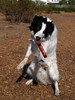 Need Hands! (ZebsterBC) Tags: dog toy collie action border catch bordercollie dynamite fetch zeb