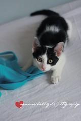 Little naughty pirate. (Porcelaingirl {easy peasy lemon squeasy}) Tags: blue bw pet white black cat kitten kat chat turquoise kitty neko katze azzurro gatto bianco nero cucciolo micio turchese gattino monello micino
