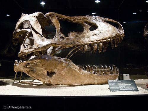 Cráneo de Tarbosaurus