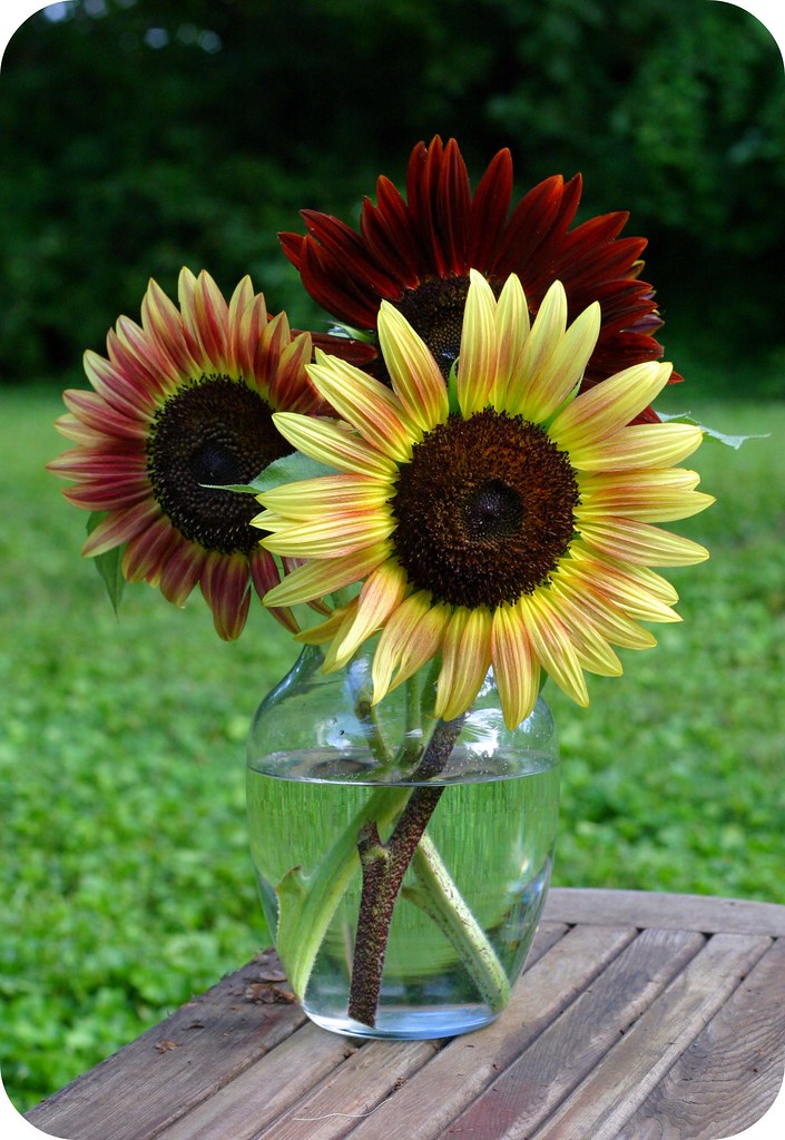 sunflowers from our <span class=