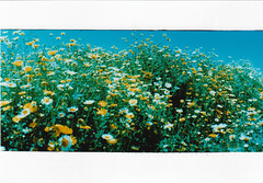 California Wildflowers (johnnyalive) Tags: california film analog 35mm xpro crossprocessed panoramic socal wildflowers encinitas torrypines