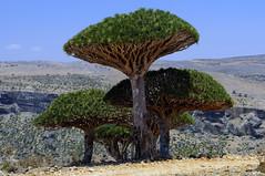 Socotra Dragon blood tree (Hannes Rada) Tags: tree blood dragon dragons yemen socotra