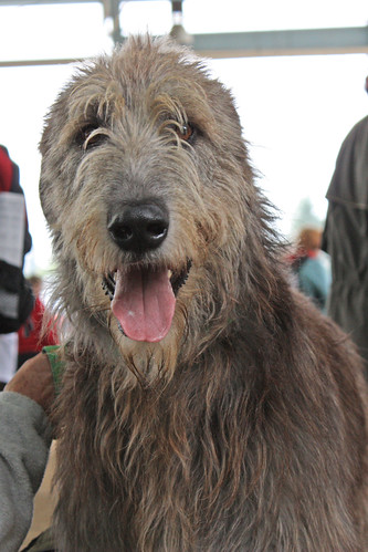 irish wolfhound 2