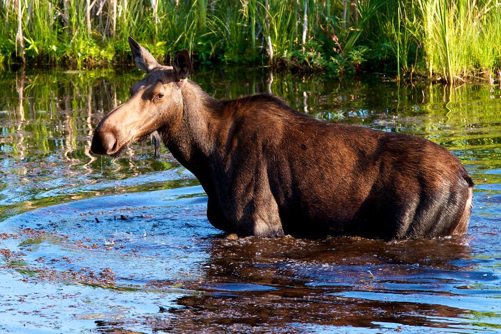 Cow moose 295/365