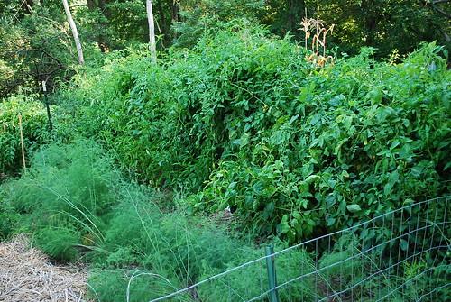 tomato plants 2