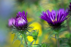 New England Aster (mclcbooks) Tags: flowers flower macro floral yellow closeup purple violet blooming denverbotanicgardens asternovaeangliae hellalacy mygearandmepremium mygearandmebronze mygearandmesilver mygearandmegold mygearandmeplatinum mygearandmediamond ringexcellence dblringexcellence