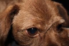 Sad puppy. (B-RizzleDizzle) Tags: dog puppy browndog mohawk fohawk affenpinscher feuxhawk