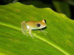 Boophis sp.