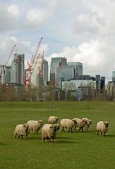 Canary Wharf Sheep (theaspiringphotographer) Tags: city london architecture cityscape skyscrapers sheep farm cranes financialdistrict docklands canarywharf grazing mudchute