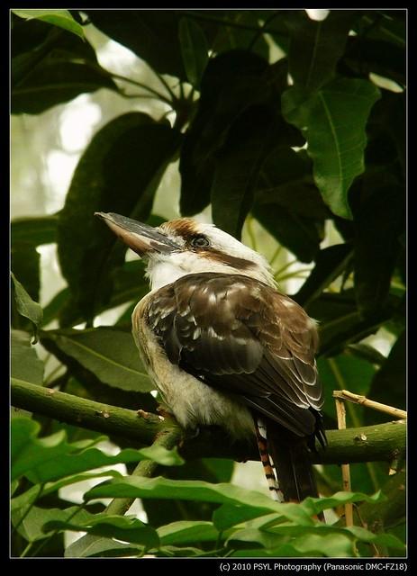 Kookaburra (Dacelo novaeguineae novaeguineae)