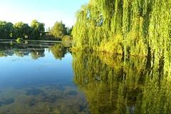 Water Reflection (ThomasKohler) Tags: lake tree nature water germany deutschland see weide natur willow teich spiegelung baum refelction mecklenburg seenplatte herrensee mritzeum mueritzeum dopplr:explore=0gt1 0gt1