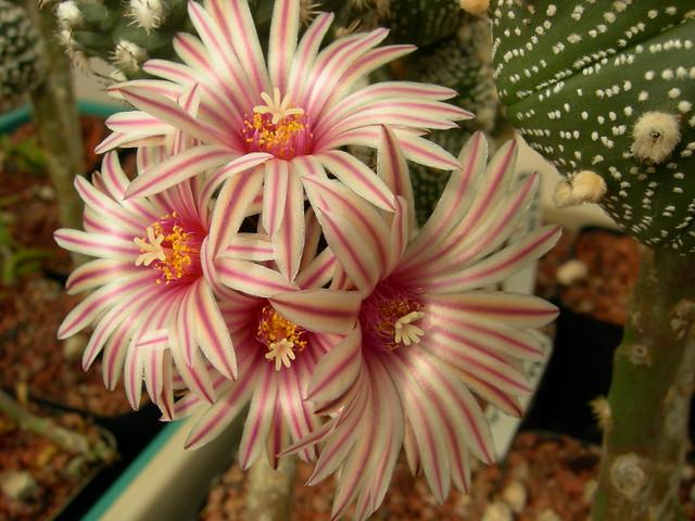 T.pulcherrimus017