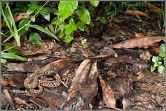 Mapapire Balsain (Bothrops asper) (Pierson Hill) Tags: nature reptile snake wildlife trinidad viper venomous asper neonate ferdelance pitviper bothrops fibr bothropsatrox lancehead guppyfibr piersonhill mapapire