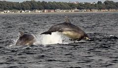 Chanonry bottlenose dolphin (niknok2007...) Tags: sea wild beach nature animal scotland marine dolphin free shore inverness rosemarkie blackisle chanonry morayfirth fortrose chanonrypoint