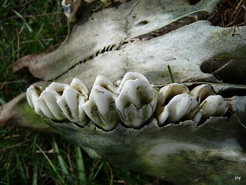 Pictures Of Cows Teeth. Cows teeth