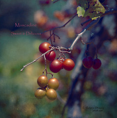 Muscadine. Sweet & Delicious (Ekler) Tags: autumn sun macro art fall texture nature ga vintage garden georgia season outdoors photo bush berry flora branch sweet bokeh farm harvest vine sunny delicious unioncity pick muscadine grape svetlana 40150mm stowers oldschooldigital brownsfarm soloha