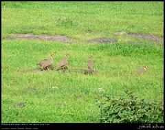 Arabian Partridges in Gogub, Dhofar (Shanfari.net) Tags: nature lumix raw natural september panasonic greenery sep arabian oman fz partridge jebel jabal jebal zufar rw2 salalah sultanate alectoris dhofar  khareef    melanocephala      dufar        dhufar governorate dofar fz38 arabianpartridge alectorismelanocephala  fz35 dmcfz35  gogub