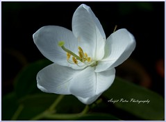 #132 The Kanchan Flower - কাঞ্চন ফুল (avipatra {Busy}) Tags: autumn india white flower green nature peace bengal westbengal avijit kanchan incrediblebengal avijitpatra framebangladesh
