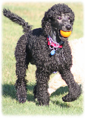 Fetchin' Weezy :))) (la POOparazzi) Tags: nh spoo poodle lakewinnipesaukee standardpoodle whitepoodle altonbay blackpoodle apricotpoodle redpoodle poodleparty creampoodle