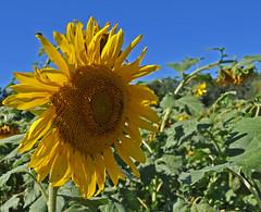 Turn Your Head (BKHagar *Kim*) Tags: sun green nature yellow al alabama sunflower fiield bkhagar