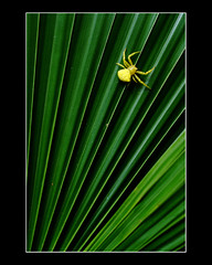 Itsy, Bitsy Spider (lordhoth) Tags: color macro yellow spider anahaw nikkor60mm28 mywinners fujis5pro rubyphotographer