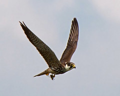 Hobby with prey ( Some times you get lucky ) (Andrew Haynes Wildlife Images) Tags: bird nature wildlife hobby coventry warwickshire birdofprey brandonmarsh canon7d ajh2008