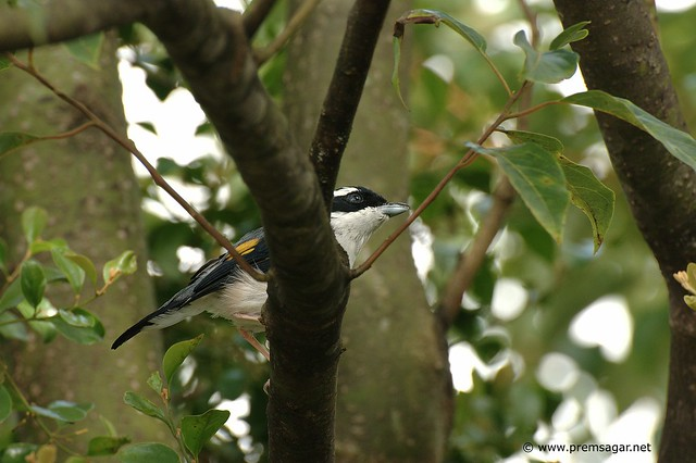 Birds of Borneo: Shrike (Black winged?)