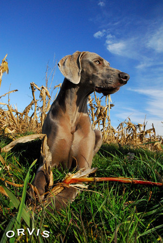 Orvis Cover Dog Contest - Rayn