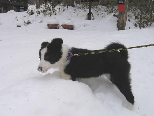 雪道を散歩中のランディ 2009.1.18 by Poran111