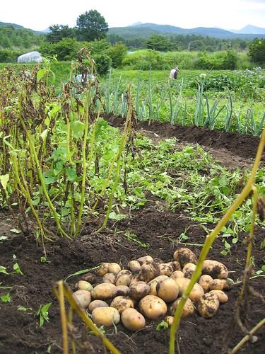 ジャガイモ「インカの目覚め」の初収穫 2009.7.20 by Poran111
