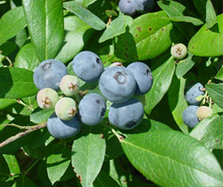 Vernon blueberries