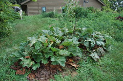"Rhubarb Patch <a style=""margin-left:10px; font-size:0.8em;"" href=""http://www.flickr.com/photos/91915217@N00/4995243530/"" target=""_blank"">@flickr</a>"